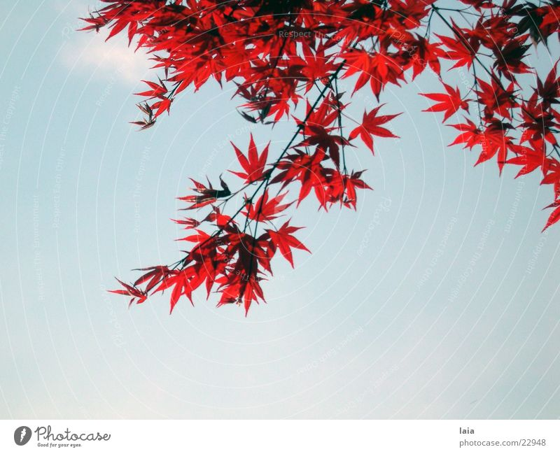 red maple Blatt Wolken rot Baum Himmel blau