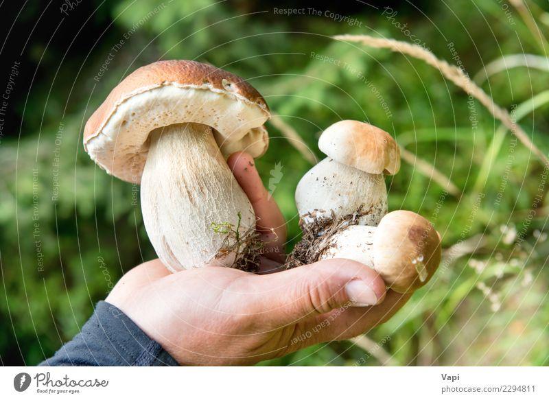 Essbarer frischer Pilzboletus edulis in einer Hand Natur Ferien & Urlaub & Reisen Pflanze Sommer Farbe grün weiß Wald Essen gelb Herbst natürlich Gras