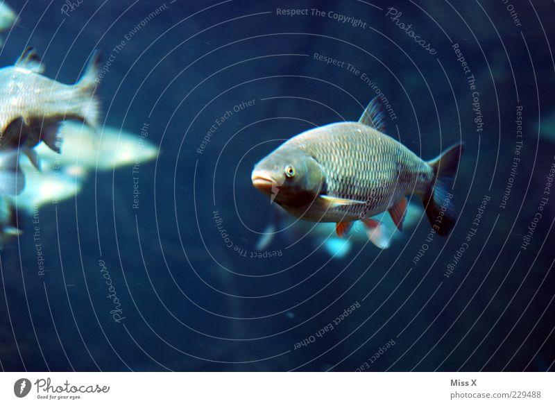 Karpfen blau Wasser blau Tier See Schwimmen & Baden Fisch Neugier Teich Aquarium Bach Schwarm Umwelt Schuppen Karpfen Unterwasseraufnahme Blick