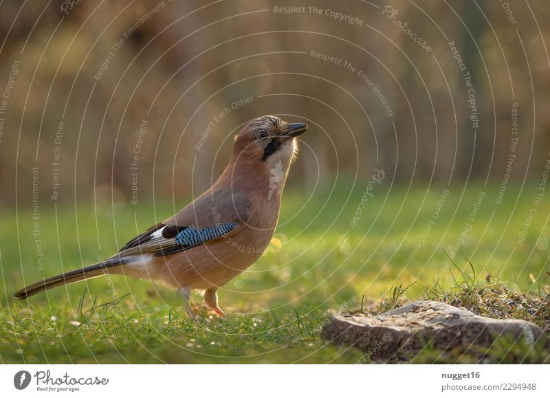 Eichelhäher Umwelt Natur Tier Wiese Wildtier Vogel Tiergesicht Flügel 1 Brunft Fressen füttern ästhetisch authentisch außergewöhnlich frech Freundlichkeit schön