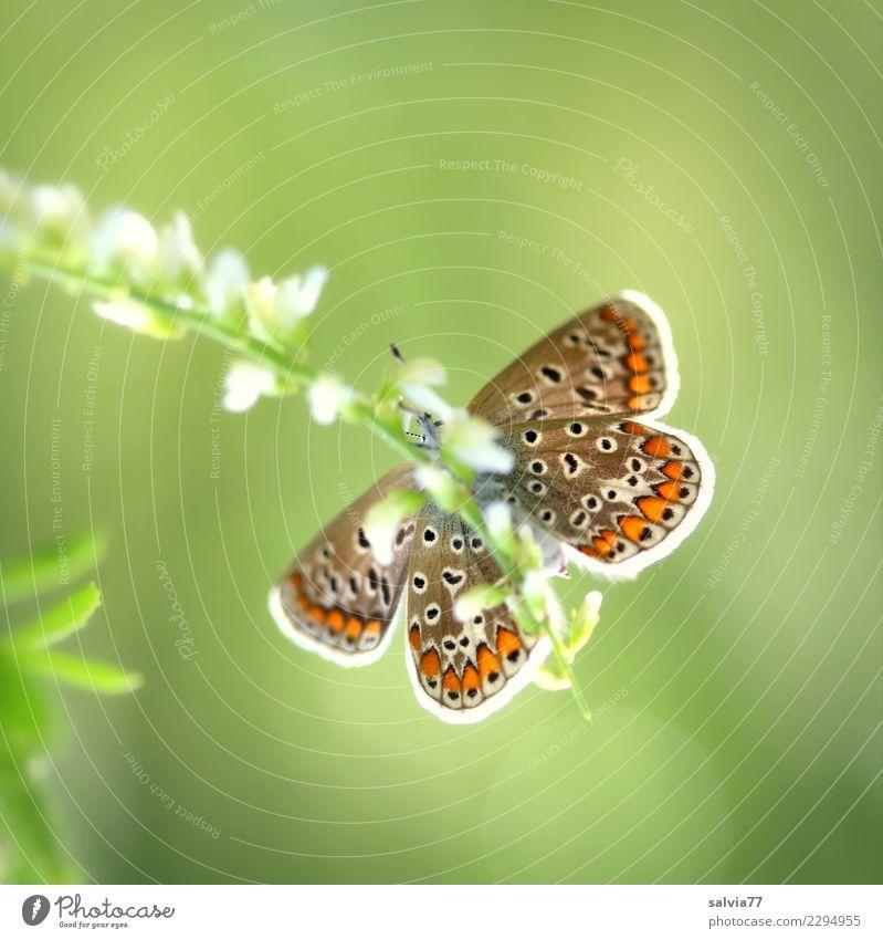 kleiner Genießer Natur Sommer schön grün weiß Blume Tier Blatt Umwelt Blüte Glück braun genießen Schönes Wetter Flügel lecker