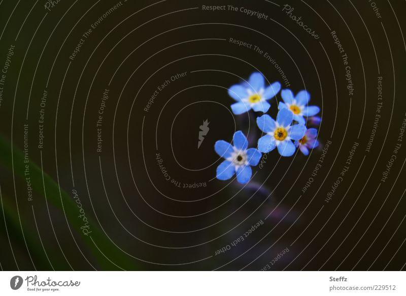 bloß vergissmeinnicht Natur blau schön Farbe Pflanze Sommer Blume dunkel Frühling Blüte klein außergewöhnlich Dekoration & Verzierung Blühend einzigartig Textfreiraum