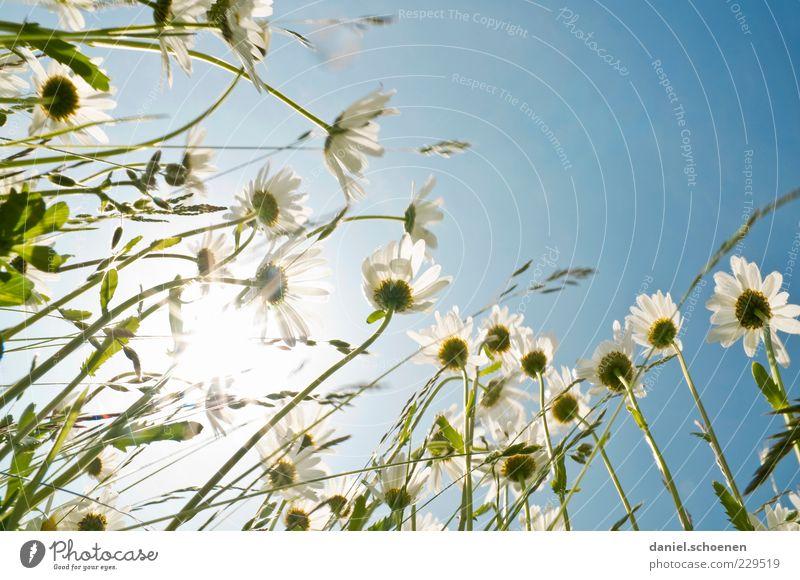 let the sun shine ... Pflanze Himmel Wolkenloser Himmel Sonne Sonnenlicht Frühling Sommer Schönes Wetter Blume Gras Blüte Wiese blau weiß Margerite Blumenwiese