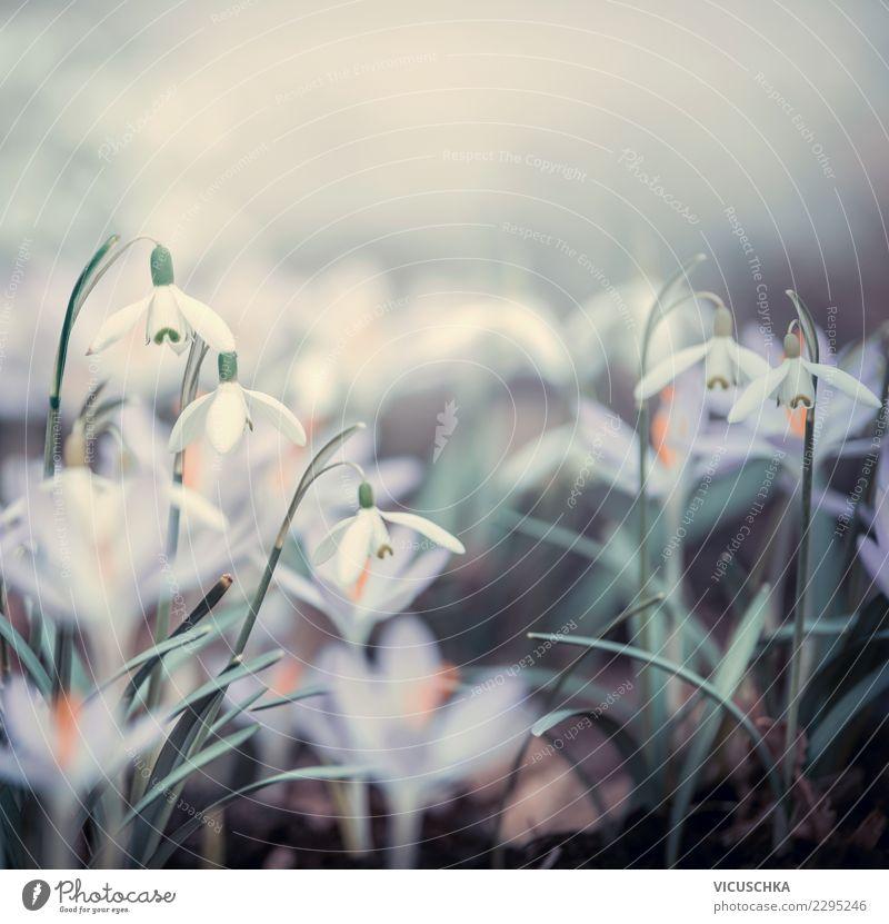 Frühlingsblumen Nature Design Garten Pflanze Schönes Wetter Nebel Blume Blatt Blüte Park Wiese Feld Blühend Hintergrundbild Schneeglöckchen Krokusse Nahaufnahme