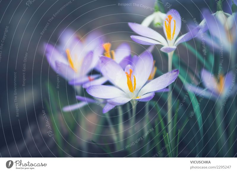 Krokusse Nahaufnahme Lifestyle Natur Pflanze Frühling Blume Blatt Blüte Garten Park gelb Farbfoto Außenaufnahme Makroaufnahme Textfreiraum links Morgen