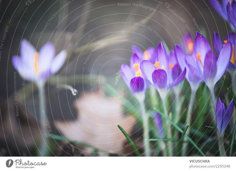 Hübsche Krokusblumen Natur Pflanze schön Blume Blatt Blüte Hintergrundbild Frühling Garten Design Park Blühend violett Krokusse