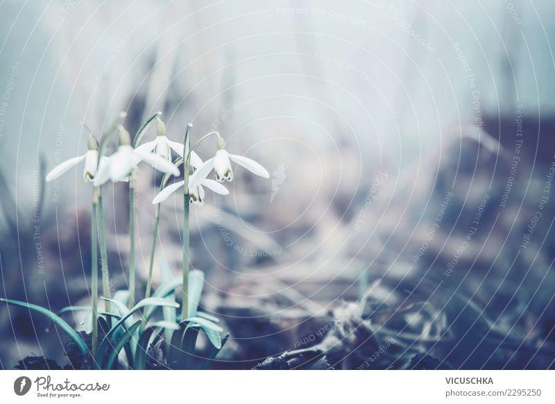 Nahaufnahme von Schneeglöckchen im Frühlingsgarten Design Garten Natur Pflanze Blume Blatt Blüte Park Wald Hintergrundbild Farbfoto Außenaufnahme Makroaufnahme