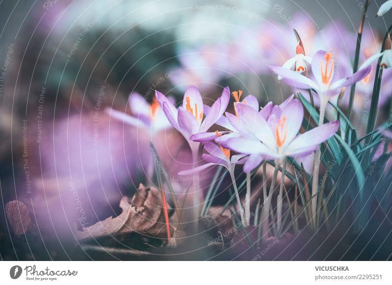 Krokusse Nahaufnahme Design Garten Natur Landschaft Pflanze Frühling Blume Blüte Park rosa Frühlingsgefühle Frühlingsblume Frühlingstag Frühlingskrokus Farbfoto