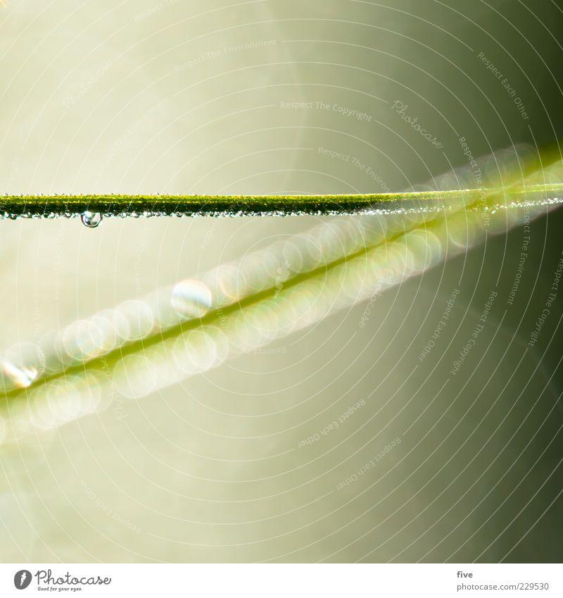 line Umwelt Natur Pflanze Grünpflanze hell nass grün abstrakt Tropfen Halm Farbfoto Nahaufnahme Detailaufnahme Makroaufnahme Tag Licht Unschärfe