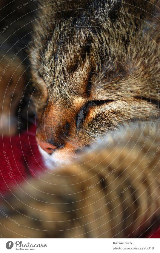 Alles mit der Ruhe Katze Erholung Tier ruhig Gesicht braun Zufriedenheit niedlich schlafen Sicherheit Haustier Vertrauen Fell Geborgenheit Tiergesicht kuschlig