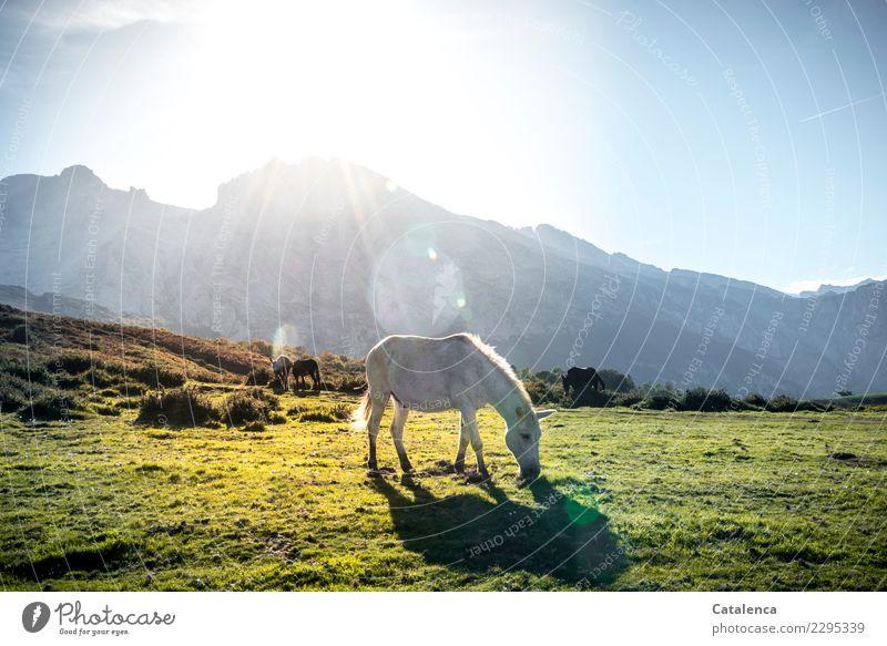 Sonnig Berge u. Gebirge wandern Landschaft Himmel Herbst Schönes Wetter Gras Wiese Felsen Gipfel Pferd Schimmel 1 Tier 3 Tiergruppe Fressen glänzend genießen