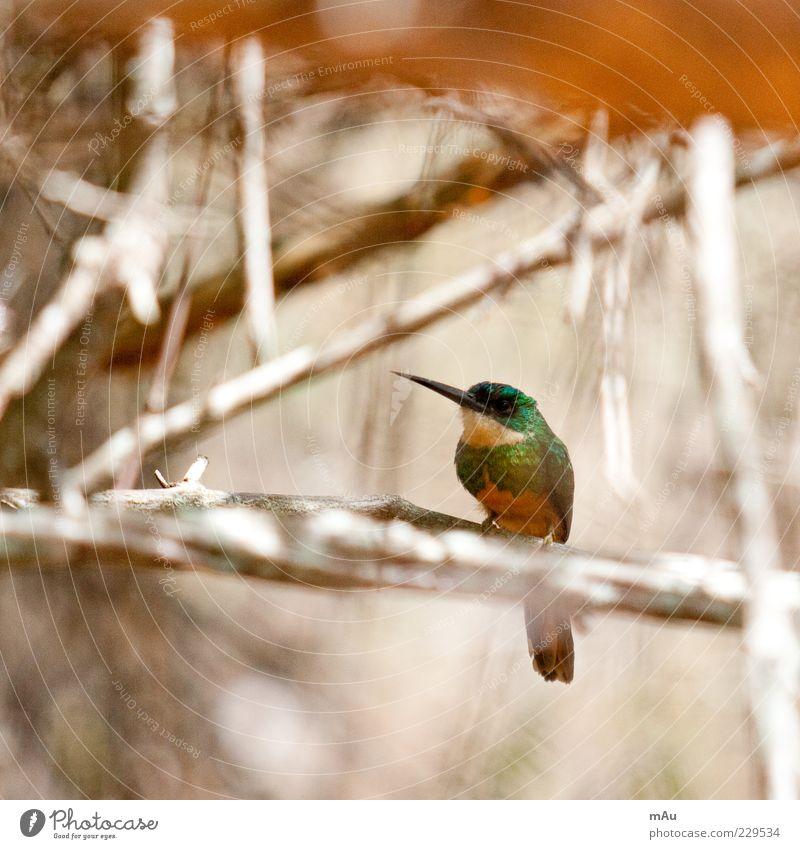 Beija Flor .4 Natur grün schön Tier klein braun Vogel sitzen Ast Schnabel Kolibris