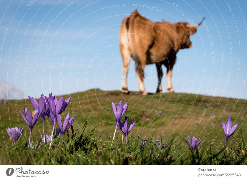Krokusse Landschaft Pflanze Tier Himmel Sommer Schönes Wetter Blume Gras Blatt Blüte Alm Weide Wiese Hügel Alpen Nutztier Kuh 1 Blühend Duft stehen blau braun