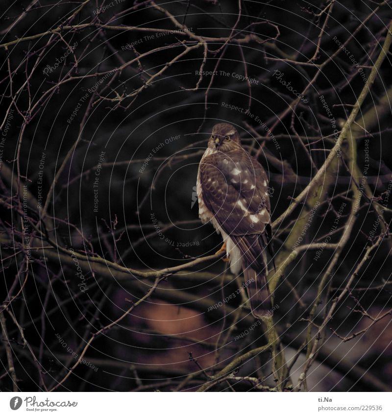 auf der Jagd Natur Tier Umwelt braun Vogel sitzen natürlich Wildtier authentisch Ast Jagd schlechtes Wetter Greifvogel Sperber