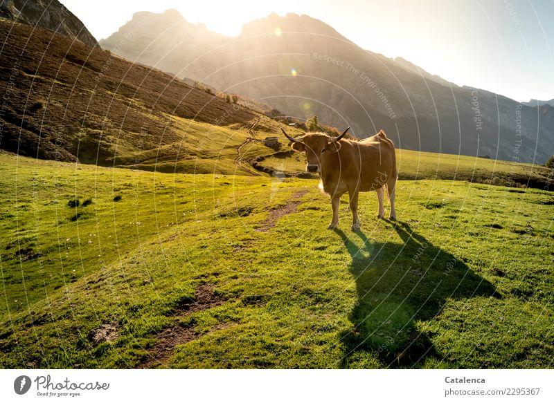 Lichtbad Natur Landschaft Sommer Schönes Wetter Gras Sträucher Wiese Felsen Berge u. Gebirge Wege & Pfade Nutztier Kuh 1 Tier beobachten genießen authentisch
