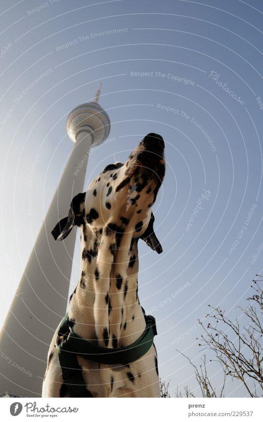 Fernsehturm Himmel blau weiß Stadt schwarz Tier Berlin Architektur Kopf Hund Luft hoch außergewöhnlich Turm Ohr Fell