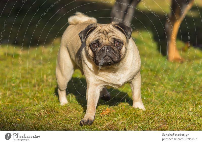 A beautiful pug stands in the meadow Natur Hund Pflanze Sommer Landschaft Tier Freude Wiese natürlich lachen Glück Garten Stimmung Freundschaft gehen