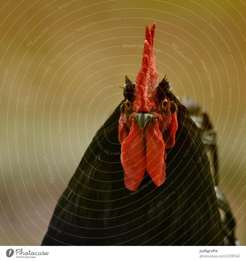 Hahn rot schwarz Tier Auge Kopf außergewöhnlich beobachten Tiergesicht Konzentration Wachsamkeit Schnabel Stolz Nutztier Hahn gefiedert Starrer Blick