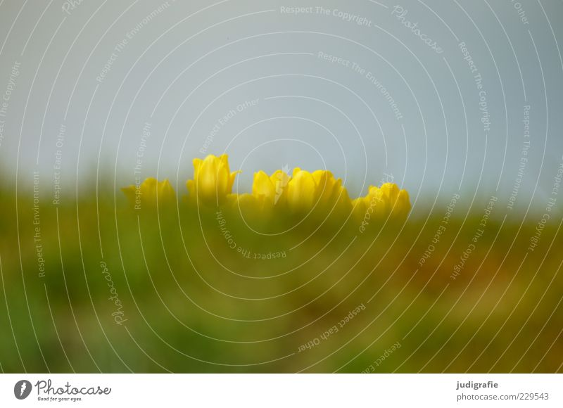 Warten Himmel Natur schön Pflanze Blume gelb Wiese Umwelt Landschaft Gras Frühling Wachstum Neugier Tulpe Erwartung Unschärfe