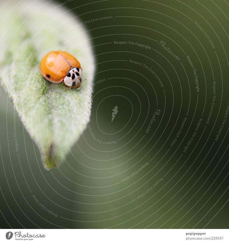 sich die punkte erst verdienen müssen Pflanze Blatt Tier Nutztier Käfer 1 Fressen grün rot Marienkäfer Farbfoto Außenaufnahme Nahaufnahme Detailaufnahme