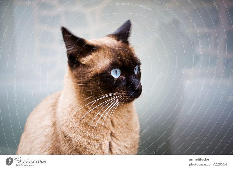 Spieglein, Spieglein an der Wand.. blau schön Tier Katze Ohr Haustier Schnurrhaar Katzenkopf Augenfarbe