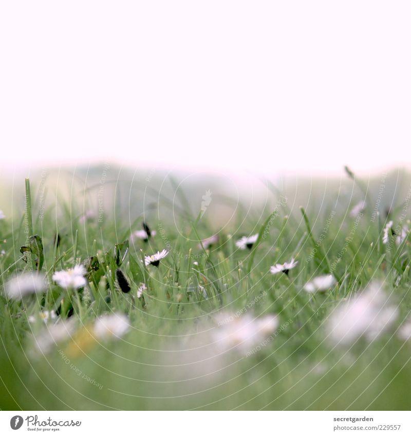 ich weiß noch immer, was du letzten sommer getan hast. Himmel Natur weiß grün Pflanze Sommer Blume Erholung Wiese Gras frisch Blühend Duft Gänseblümchen Frühlingsgefühle
