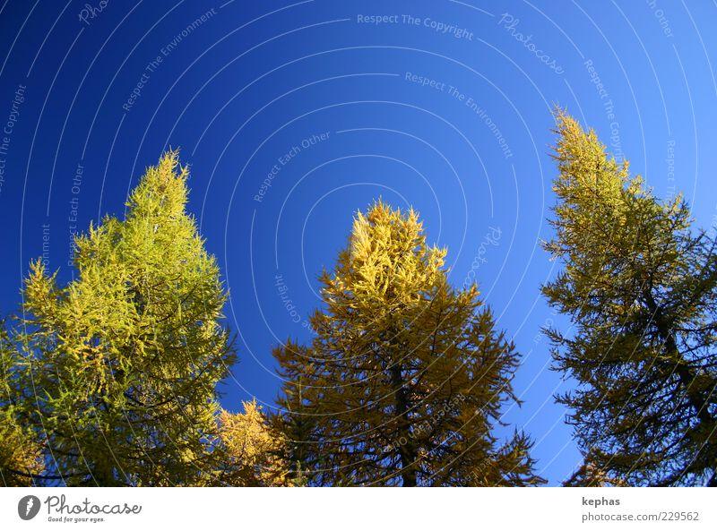 Goldener Herbst Umwelt Natur Pflanze Himmel Wolkenloser Himmel Schönes Wetter Baum Lärche Wald ästhetisch blau gelb grün Zufriedenheit Kraft schön Farbfoto