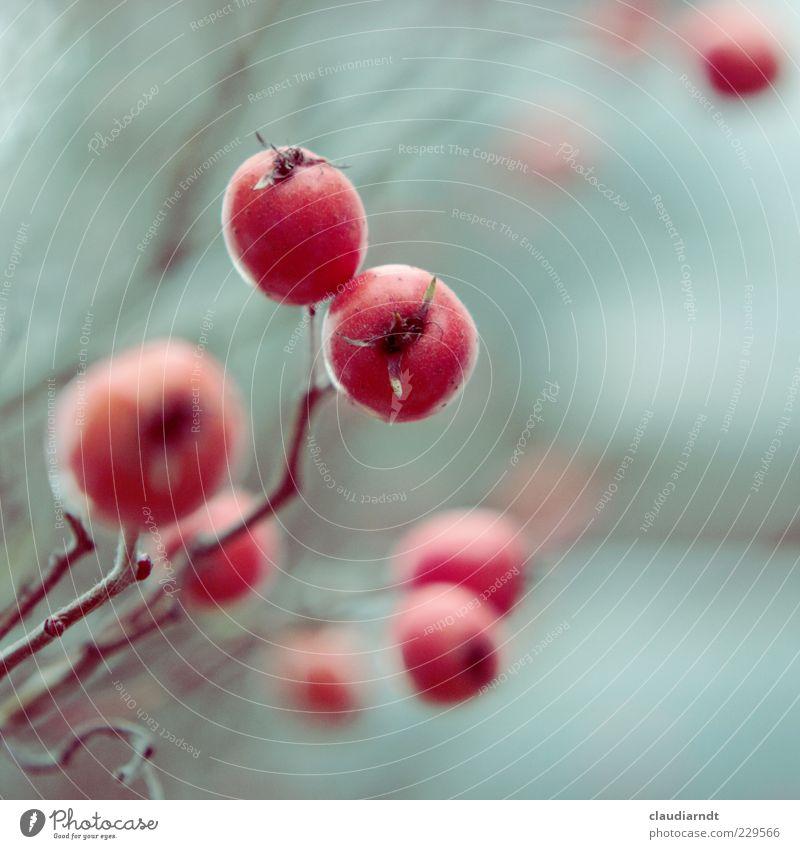 Frostfrucht Pflanze Winter Sträucher Rose Frucht rot Zweig reif Vitamin C Retro-Farben kalt Unschärfe Farbfoto Nahaufnahme Detailaufnahme Textfreiraum rechts