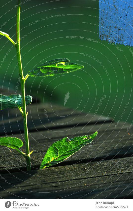 Pepi Umwelt Pflanze Blatt Wachstum blau grün Glück Frühlingsgefühle Hoffnung Glaube Wandel & Veränderung Zukunft Stengel Holz Sonnenlicht Photosynthese Farbfoto