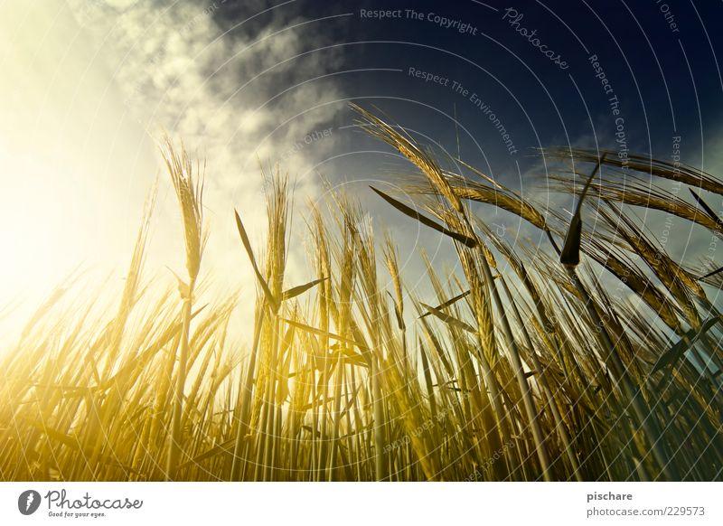 Gerste u. Krieger Himmel Natur Wolken gelb Feld gold natürlich Wachstum Landwirtschaft Ähren Feldfrüchte Sonnenstrahlen Pflanze Starke Tiefenschärfe Nutzpflanze