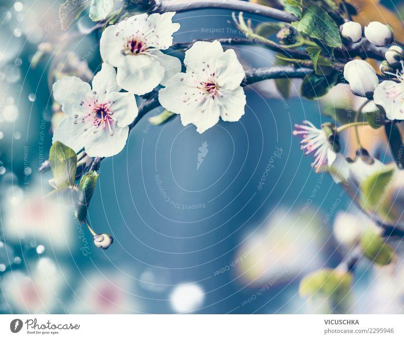 Nahaufnahme von Kirschblüten auf blauem Hintergrund Natur Pflanze weiß Baum Blume Blatt Lifestyle Blüte Hintergrundbild Frühling Garten Design Park Blühend