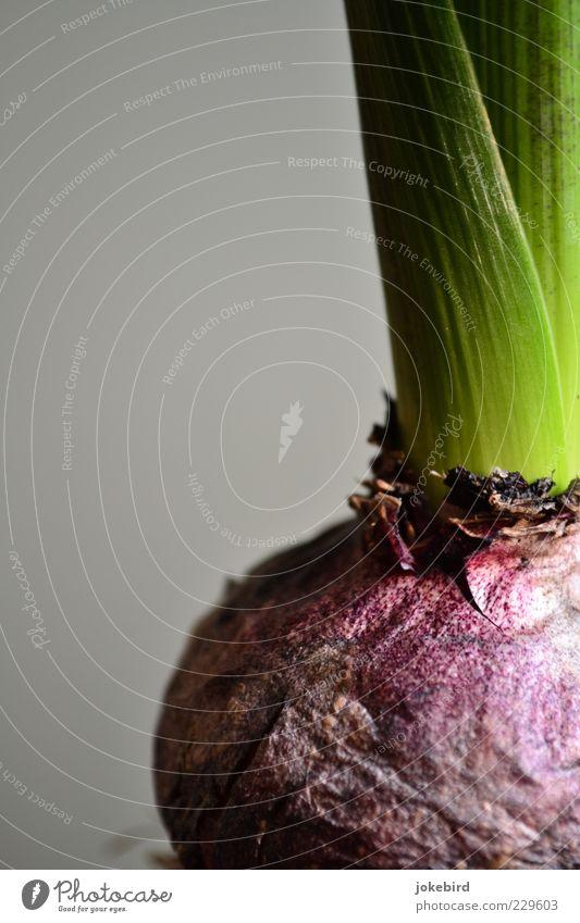 Emporkömmling Pflanze Blatt Grünpflanze Hyazinthe Knolle Knollengewächse Blütenpflanze Garten frisch grau grün violett Beginn Energie kalt Leben Natur Kraft