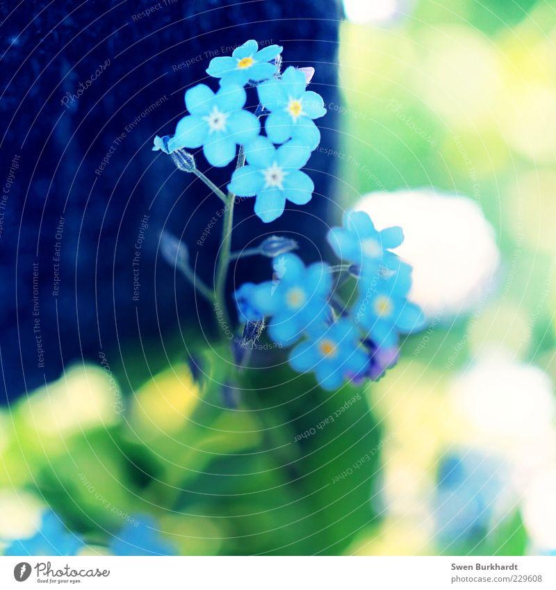 forget-me-not Natur blau grün schön Pflanze Sommer Blume Blatt gelb Umwelt Blüte klein natürlich zart Stengel Duft
