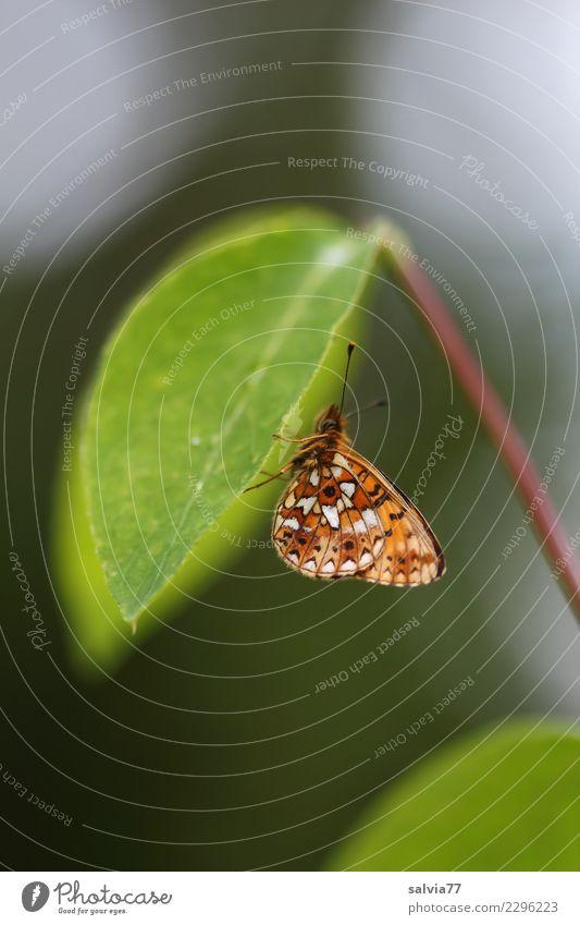 Flugbetrieb eingestellt Natur Pflanze grün Tier Blatt ruhig Umwelt Flügel Pause Schutz Insekt unten Schmetterling Siesta ausruhend Fühler