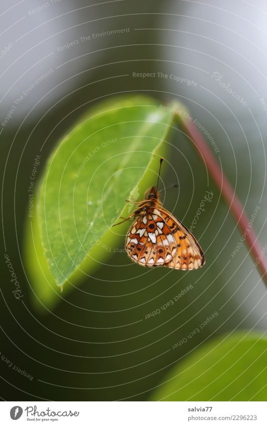 Flugbetrieb eingestellt Umwelt Natur Pflanze Tier Blatt Schmetterling Flügel Insekt 1 grün Pause ruhig Schutz ausruhend Siesta Fühler unten Farbfoto
