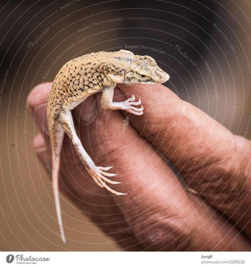 Balanceakt Ferne Natur Tier Wüste Namib Eidechse 1 außergewöhnlich Tatkraft Tierliebe Kontakt Konzentration Ferien & Urlaub & Reisen Afrika Namibia Farbfoto