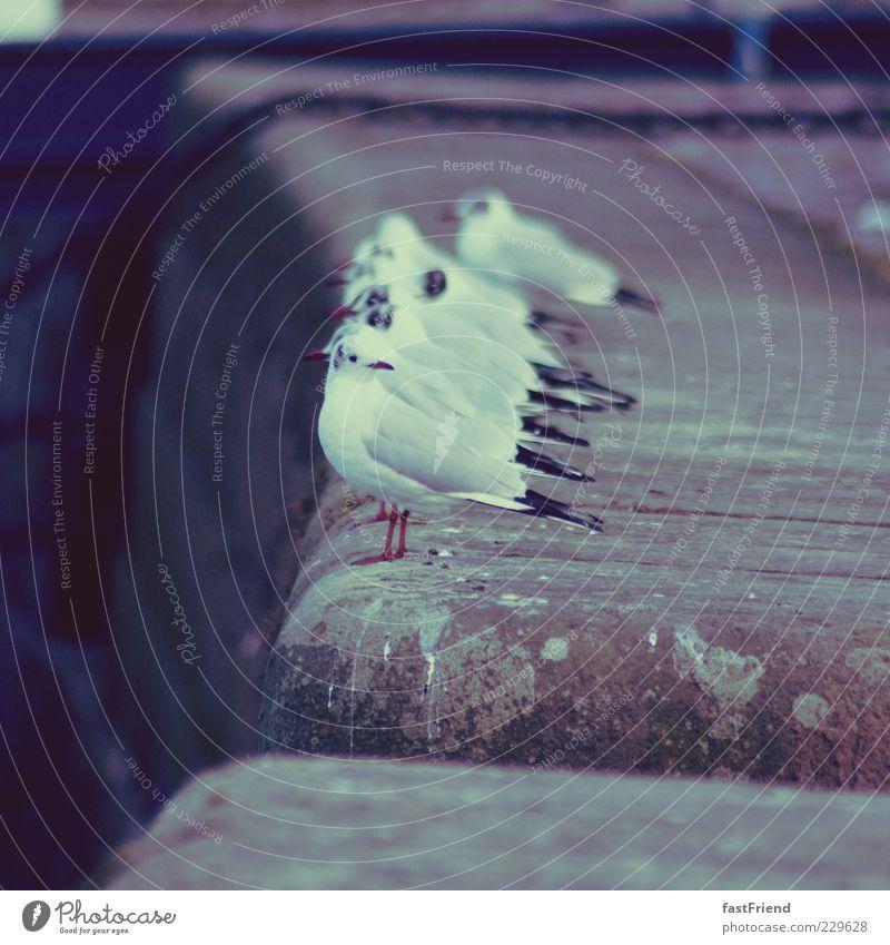 ready for take-off Möwe Vogel frieren sitzen stehen warten Steg Stein Wachsamkeit Pause Tiergruppe Beine Elbe Dresden Gedeckte Farben Außenaufnahme Dämmerung
