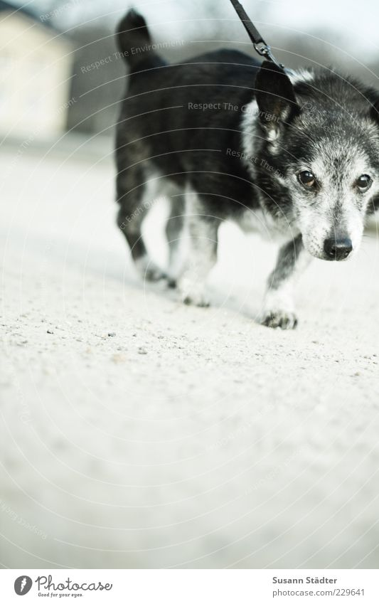 Bock alt Tier kalt Schnee Hund Bewegung klein laufen Haustier Neigung Unlust Hundeleine grauhaarig Gassi gehen Lustlosigkeit Widerstandskraft