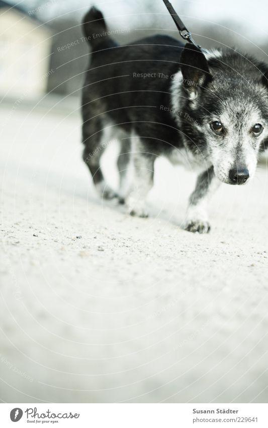 Bock Tier Haustier Bewegung laufen alt grauhaarig Hundeleine Widerstandskraft Lustlosigkeit klein Tierporträt Nahaufnahme Ganzkörperaufnahme Blick