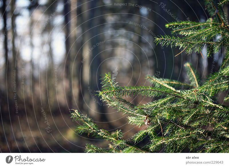 treue Blätter Natur grün Baum Winter ruhig Wald Herbst Umwelt Klima Wachstum Wandel & Veränderung Gelassenheit Schönes Wetter Tanne Jahreszeiten Baumstamm