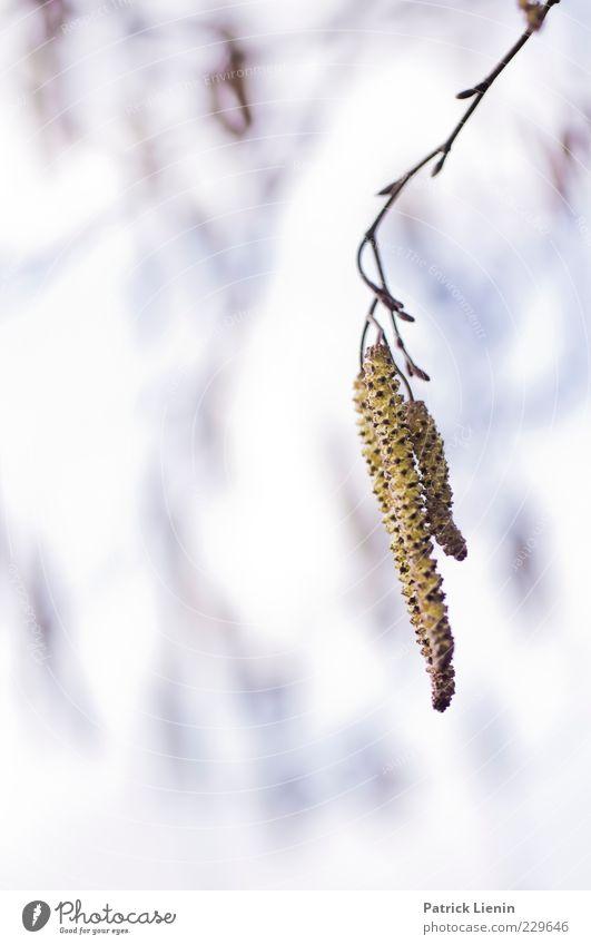 spring awakening Umwelt Natur Pflanze Urelemente Luft Frühling Baum Blüte Grünpflanze Wildpflanze verblüht Wachstum schön weich Birke hängen blau Ast Erneuerung