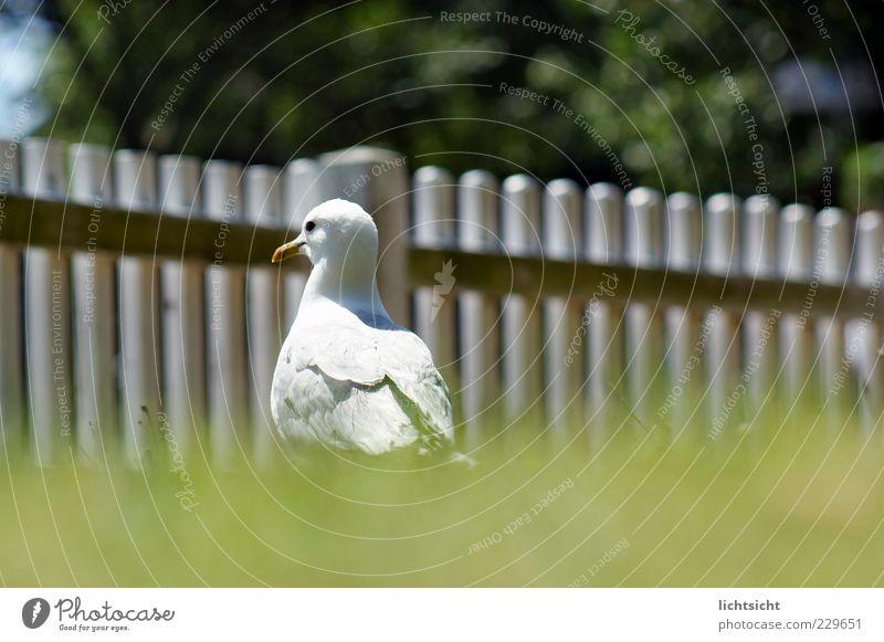 Möwengehege Sommer Schönes Wetter Gras Wiese Nordsee Ostsee Insel Tier Vogel 1 Blick grün weiß Silbermöwe Zaun Zaunpfahl frech maritim Feder Schnabel Baumkrone