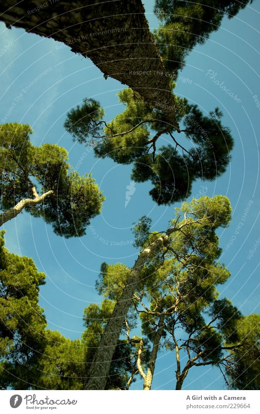 way up above Umwelt Natur Himmel Schönes Wetter Baum Park Wachstum exotisch fantastisch gigantisch blau grün Zusammenhalt hoch Ast mediterran Pinie Farbfoto