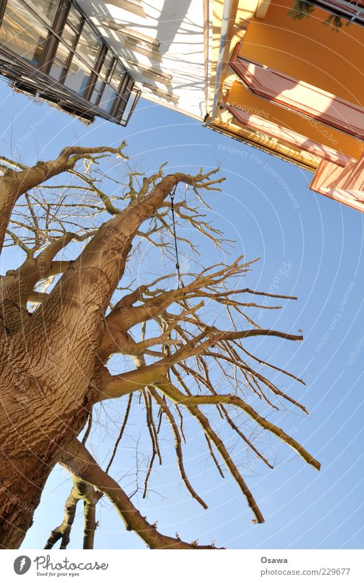 Abstand Baum Baumstamm Baumrinde Ast Himmel blau kahl Winter Baumkrone beschnitten Traurigkeit kürzen Hochformat Textfreiraum unten Menschenleer