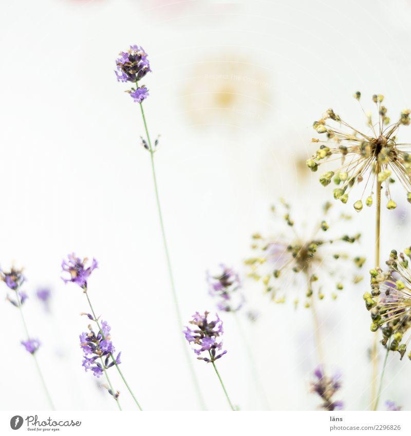 was macht es denn Pflanze Lavendel Blühend verblüht außergewöhnlich einfach Leidenschaft Vergänglichkeit hell Blick nach oben Zierlauch Farbfoto Außenaufnahme