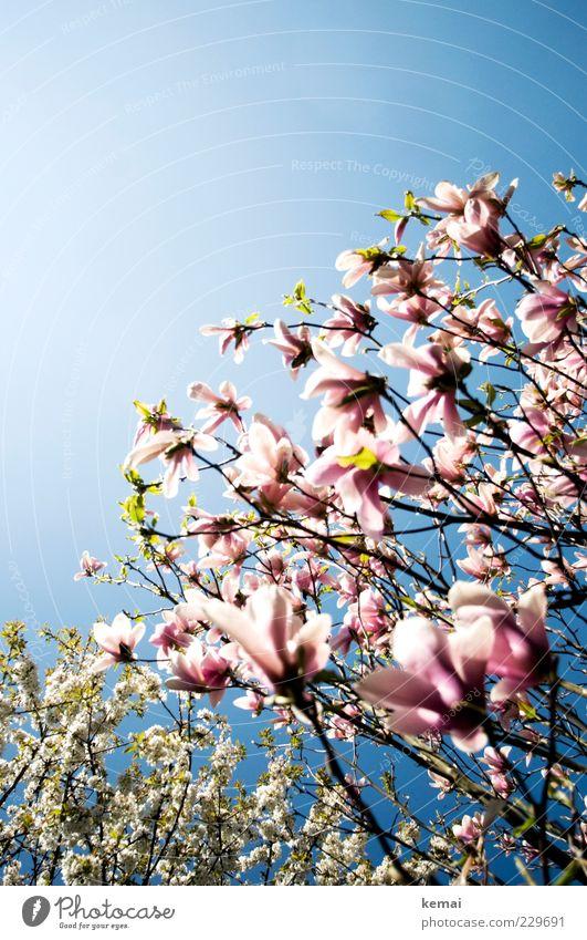 Um die Wette blühen Umwelt Natur Pflanze Himmel Wolkenloser Himmel Sonnenlicht Frühling Sommer Klima Schönes Wetter Wärme Baum Blüte Grünpflanze Wildpflanze