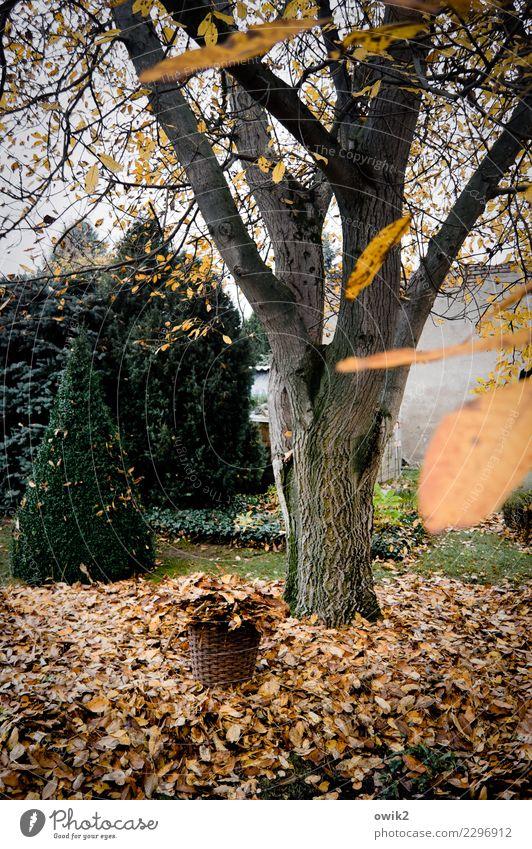 Laublos Umwelt Natur Landschaft Pflanze Herbst Baum Sträucher Blatt Echter Walnussbaum Vergänglichkeit verlieren Herbstlaub Farbfoto Gedeckte Farben