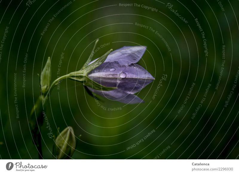 Schlecht Wetter Natur Pflanze Wassertropfen Sommer schlechtes Wetter Blume Blüte Glockenblume Garten Blühend glänzend dehydrieren Wachstum ästhetisch grün