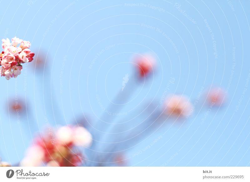 Stielaugen Himmel Pflanze blau Sommer Blume Blüte Frühling Feste & Feiern rosa Dekoration & Verzierung Lebensfreude Kitsch Blumenstrauß Stengel Veranstaltung