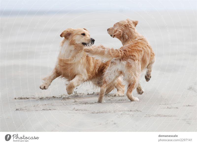 Kreisverkehr Freude Umwelt Natur Sand Sommer Schönes Wetter Strand Tier Haustier Hund Fell Fährte Golden Retriever 2 Brunft Bewegung rennen Spielen springen